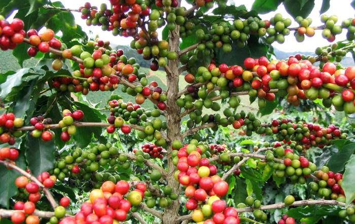 Café-de-Guatemala